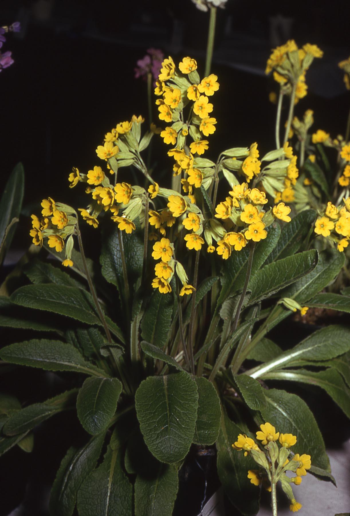 Starter List Of Primula The American Primrose Society